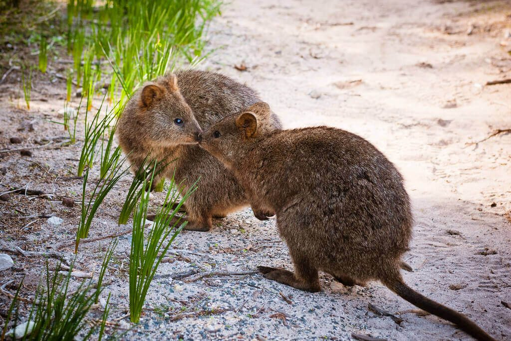 Quokka Have Great Social Skills
